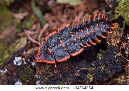 a close up shot of Trilobite Beetle