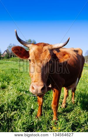 Curious Cow On The Meadow In Summer Sunset