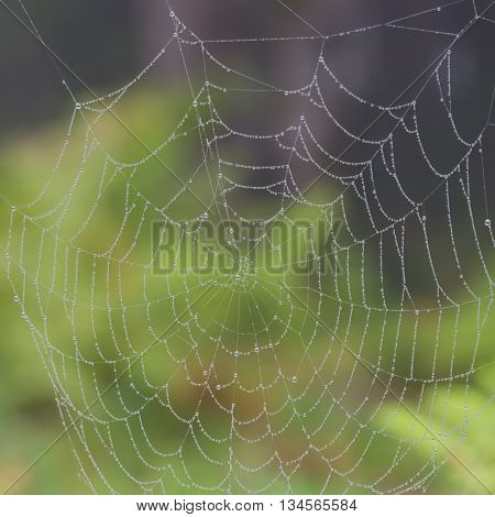 Natural net of a spider with water drops