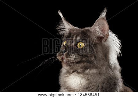 Close-up Portrait of Funny Maine Coon Cat Looks Surprised and show tongue in Camera Isolated on Black Background, Front view