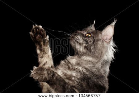 Closeup Portrait of Maine Coon Cat Raising Paws up Isolated on Black Background, Side view