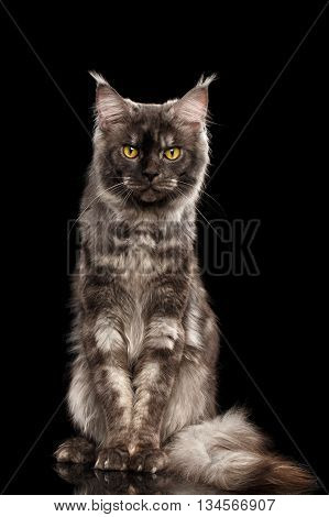 Angry Maine Coon Cat with Yellow eyes Sitting and Looking in Camera Isolated on Black Background, Front view