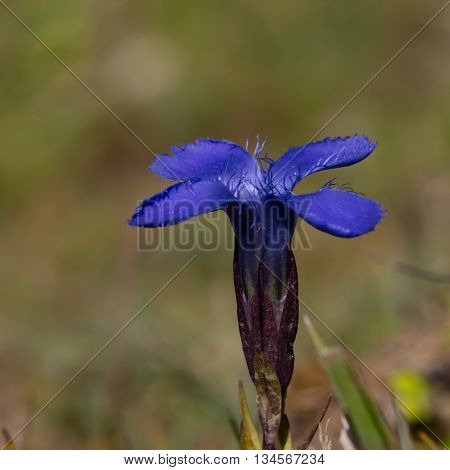 Bloom of blue gentian in natural environment