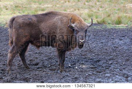 Bison (Bison bonasus) in the wild nature in national park the Belovezhsky dense forest