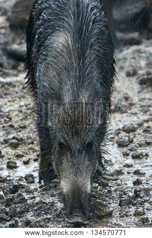 Female Wild Hog In The Mud
