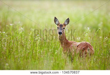 Doe In A Grass Field