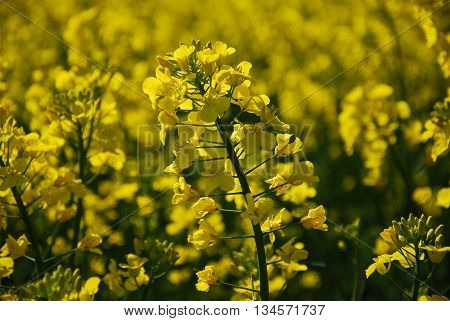 Rapeseed flower closeup with a blurred yellow background