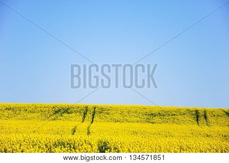Tracks in a blossom canola field in a sparse composition