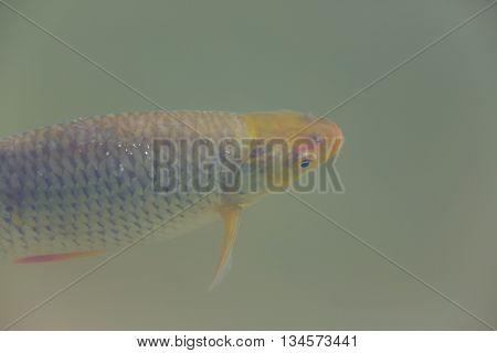 living common rudd (Scardinius erythrophthalmus) under water