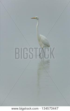 Great white egret  (Egretta alba) walking in the mist