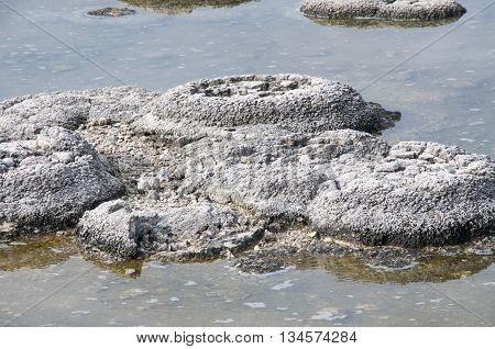 Closeup of a cluster of stromatolites, living marine fossils, in the shallow waters at Lake Thetis in Western Australia.