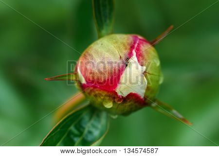 Ants crawling on a peony bud in the spring after the rain