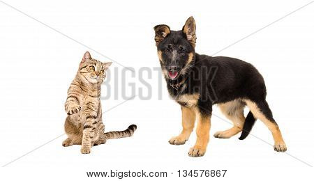Playful cat Scottish Straight and German Shepherd puppy isolated on white background