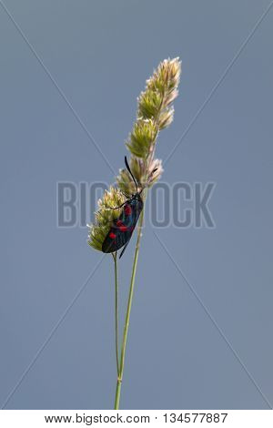 isolated six-spot burnet (Zygaena filipendulae) on a grass stalk
