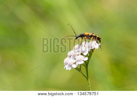 spotted longhorn (Rutpela maculata /  Strangalia maculata) sitting on a white flower with green background