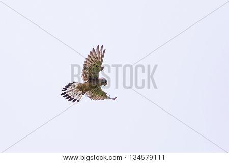 Common kestrel during stationary flight in grey sky
