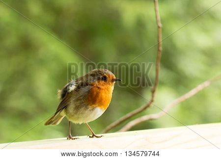 An isolated Robin Redbreast perched on a wooden railing with a natrual green blurred background