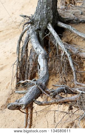 the roots of pine trees on a sandy cliff