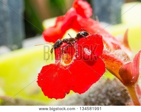 Ant Standing On A Big Red Flower. To Find The Nectar Of And Pollen.