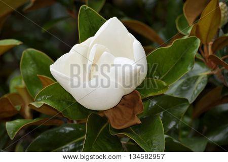 White Magnolia tree flower background rural Georgia, USA.