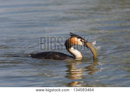Great crested grebe with fish in beak swimming in the water