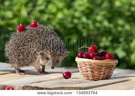 cute young hedgehog, Atelerix albiventris, stands near the wicker basket with sweet cherry on a background of green leaves. berries cherries on the spines of a hedgehog. concept of harvest