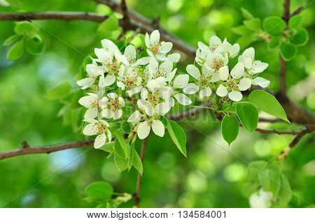 Spring flowering of fruit tree pear. The pear is any of several tree and shrub species of genus Pyrus, in the family Rosaceae.