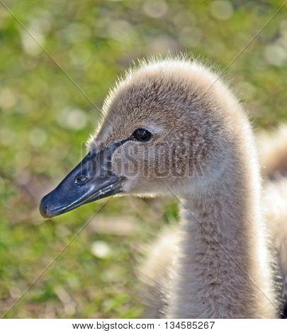 Fluffy pale baby Australian Black Swan (cygnet) in profile