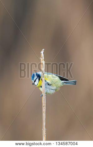 Blue Tit (Parus caeruleus) on a reed stalk