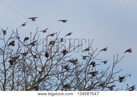 Many starlings (Sturnus vulgaris) arriving at a tree