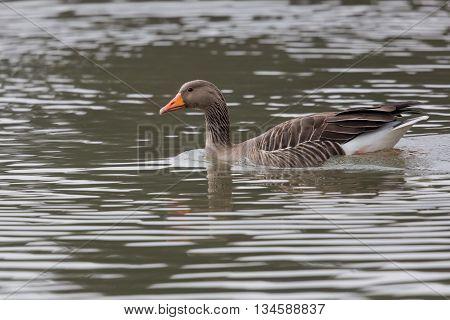 Grey Goose (Anser anser) Swimming in green water
