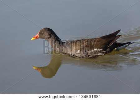 Swimming common moorhen (Gallinula chloropus) reflected in the water