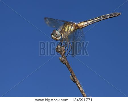 Dragonfly with the sky behind hunting for an evening meal