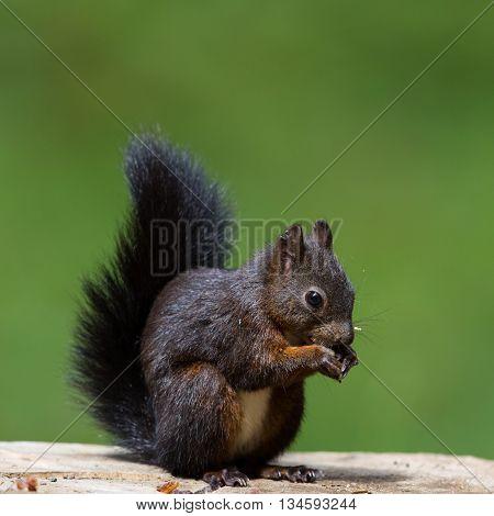 Eurasian red squirrel (Sciurus vulgaris) with a nut sitting on a tree stalk