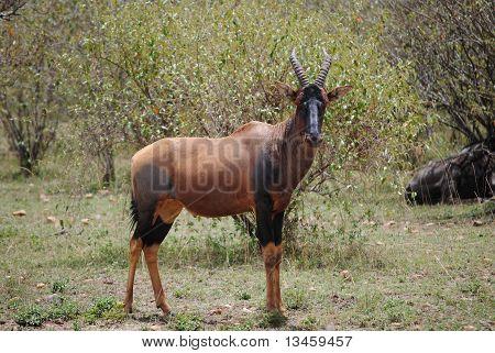 African antelope: topi (Damaliscus lunatus)