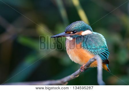 Portrait of a Eurasian kingfisher (Alcedo atthis) in the sunlight