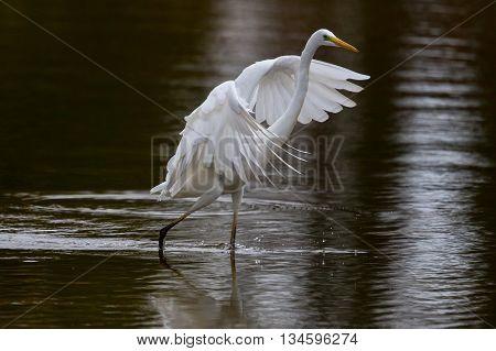 Great White Heron (Egretta Alba) walking on the water