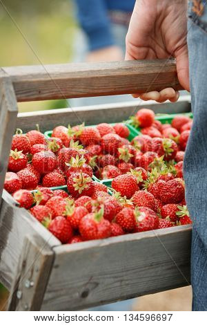 A hand holding a wooden basket full of organic fresh strawberries. Strawberry fields in Norway