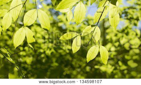 bright dogwood leaves backlit against the sky Fresh spring background