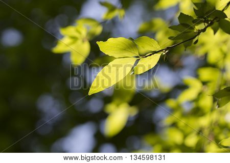 Young dogwood leaves backlit against the sky Fresh spring background