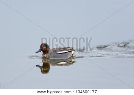 Male common teal (Anas crecca) swimming reflected on the water surface
