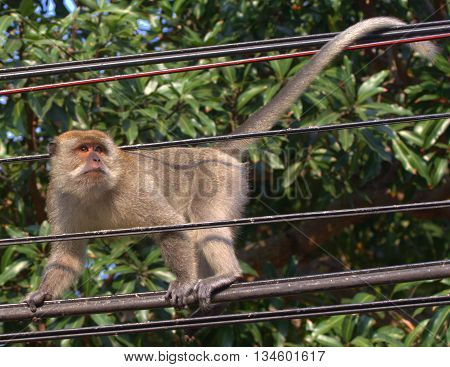 male Long-tailed Macaque walking power lines near Tang Kuan Hill lift station, Songkhla, Thailand