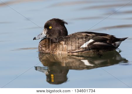 Female tufted duck (Aythya fuligula) while swimming and reflected from the water surface