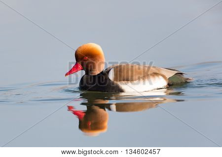 Male red-crested pochard (Netta rufina) swimming and reflected in the water surface