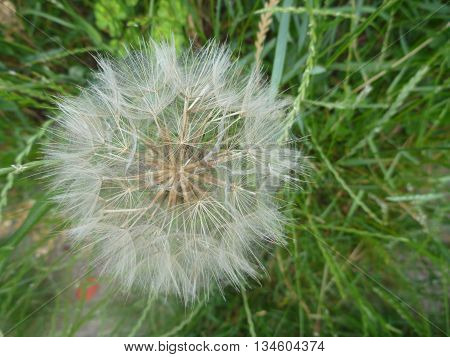 White Dandelion Blowball In A Green Grass