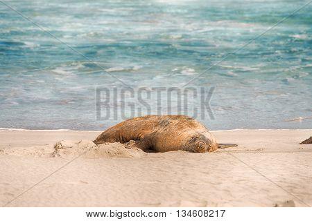 Australian sea lion (Neophoca cinerea) sleeping at Seal Bay Conservation Park, Kangaroo Island, South Australia.
