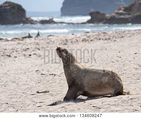 Australian sea lion (Neophoca cinerea) sitting at Seal Bay Conservation Park, Kangaroo Island, South Australia.