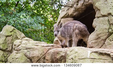 DOONSIDE NSW/AUSTRALIA - NOV 2, 2015: Eastern Grey Kangaroo (Macropus giganteus) standing at Featherdale Wildlife Park, New South Wales, Australia.