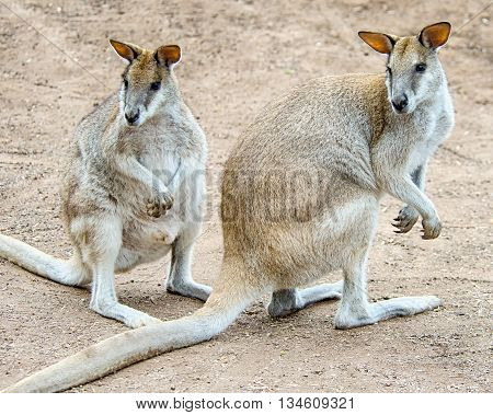 DOONSIDE NSW/AUSTRALIA - NOV 2, 2015: Brush-tailed Rock-wallabies (Petrogale penicillata), sitting at Featherdale Wildlife Park, New South Wales, Australia.