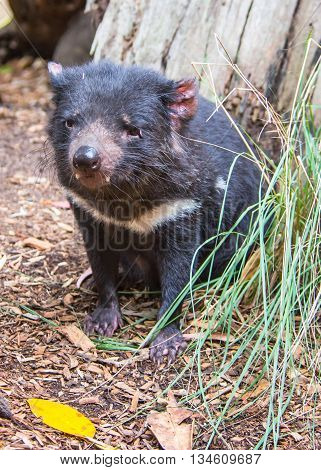 DOONSIDE NSW/AUSTRALIA - NOV 2, 2015: Tasmanian Devil (Sarcophilus harrisii) sitting at Featherdale Wildlife Park, New South Wales, Australia.